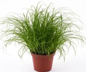 Kattengras Ciperus Zumula