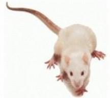 Ingevroren Muis Groot
