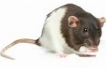 Ingevroren Rat Volwassen