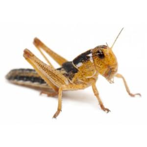 Kreca - Levende Sprinkhanen