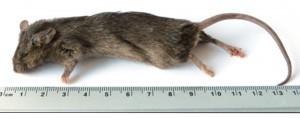 Kiezebrink - Ingevroren Muis Groot 25-30gr