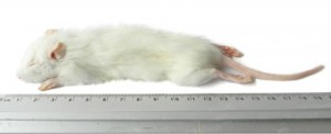 Kiezebrink - Ingevroren Rat Kleine Weaner 25-60g