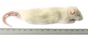 Kiezebrink - Ingevroren Rat Grote Weaner 60-90g